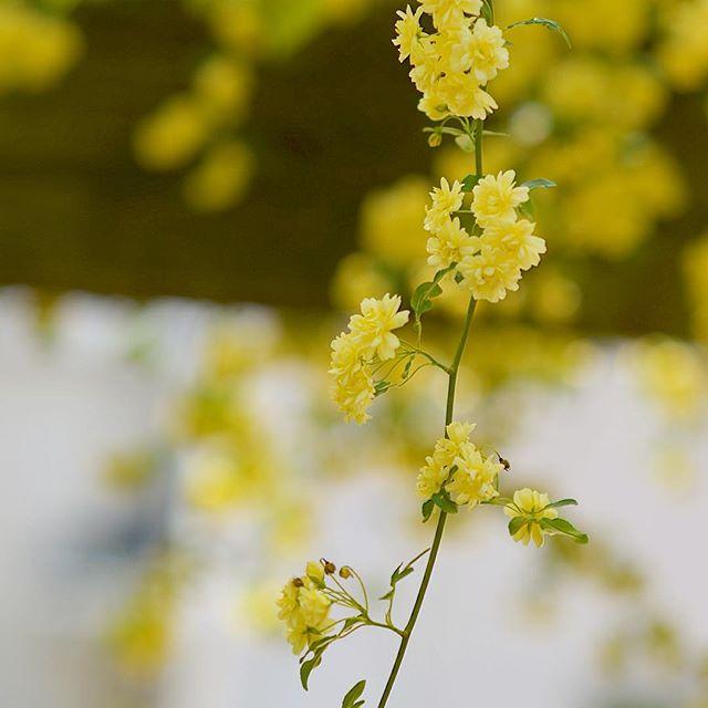 インスタグラムモッコウバラ咲きましたありがとう