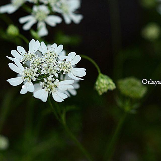 #オルラヤ#東京カメラ部 #花#写真好きな人と繋がりたい