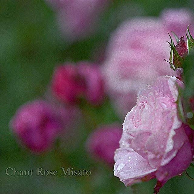 #シャンテロセミサト #バラ#バラ が咲いた#写真好きな人と繋がりたい