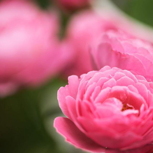 美しい#バラ#シャンテロゼミサトに癒されています素敵な香りが漂い素敵な時間が流れています。#花 #東京カメラ部 #写真好きな人と繋がりたい#国際バラとガーデニングショウ