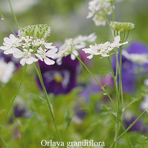 #オルレア様々なお花が庭に咲き乱れる季節オルレアは白いじゅうたんのように 毎年広がってくれています。#花 #写真好きな人と繋がりたい