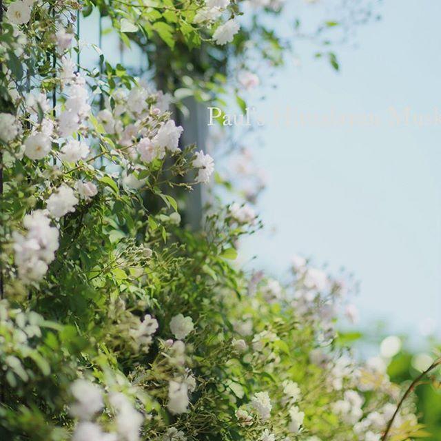 ゆるふわ写真に挑戦です。ポールズヒマラヤンムスク文字通りほのかなムスクの香りに癒されます#写真好きな人と繋がりたい #ゆるふわ#バラ#花