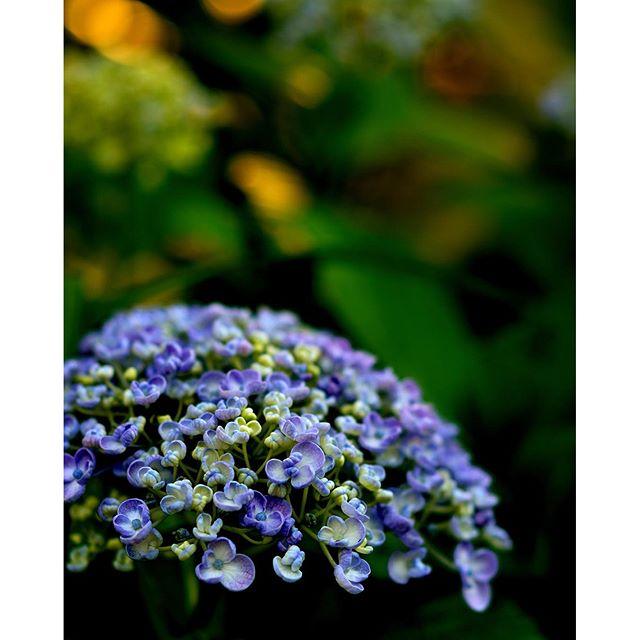 間もなくアジサイの季節ですね早咲きのオタフク#アジサイが開花です#hydrangea #東京カメラ部 #写真好きな人と繋がりたい #写真撮ってる人と繋がりたい
