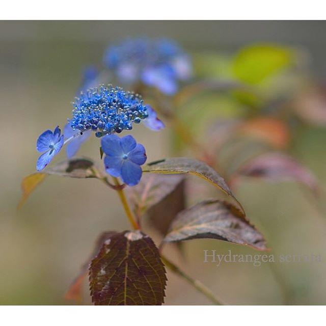 #あじさい が可愛く咲いています。#ヤマアジサイ可憐な花 大好きな花の一つです。#写真好きな人と繋がりたい #東京カメラ部
