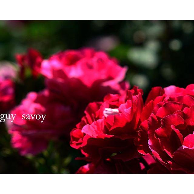 ギーサボア#花のある暮らし美しい#バラ #癒される香り #写真好きな人と繋がりたい #東京カメラ部