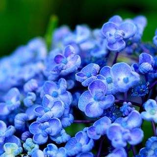 #あじさい 一株からもいろんな色が見られます#毎朝の日課 で幸せな時間#写真好きな人と繋がりたい #東京カメラ部 #花 #hydrangea