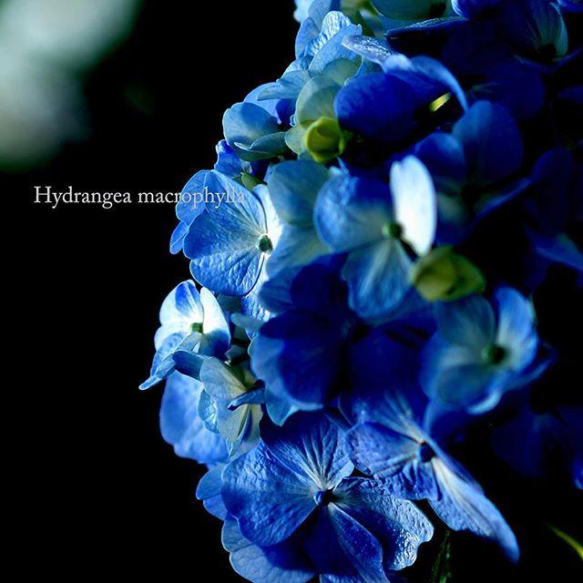 #hydrangea#写真好きな人と繋がりたい #garden #chelsea #写真撮ってる人と繋がりたい
