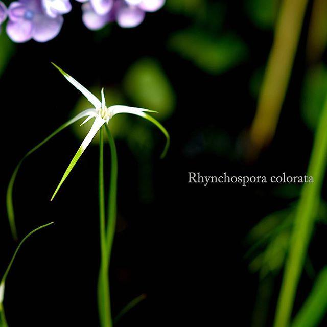 #庭 で咲いた#アジサイ との#コラボレーション が美しい#hydrangea#garden #東京カメラ部 #写真好きな人と繋がりたい #写真撮ってる人と繋がりたい #garden#シューティングスター