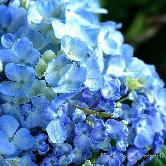 #カマキリ の#あかちゃん 発見#庭 で様々ないきものと#出会い ます先祖返りしている#オタフクアジサイの様子がわかりますか?#幸せなひとときです。#hydrangea #花 #アジサイ #garden #写真好きな人と繋がりたい #高原 #東京カメラ部 #写真撮ってる人と繋がりたい #photo#camera