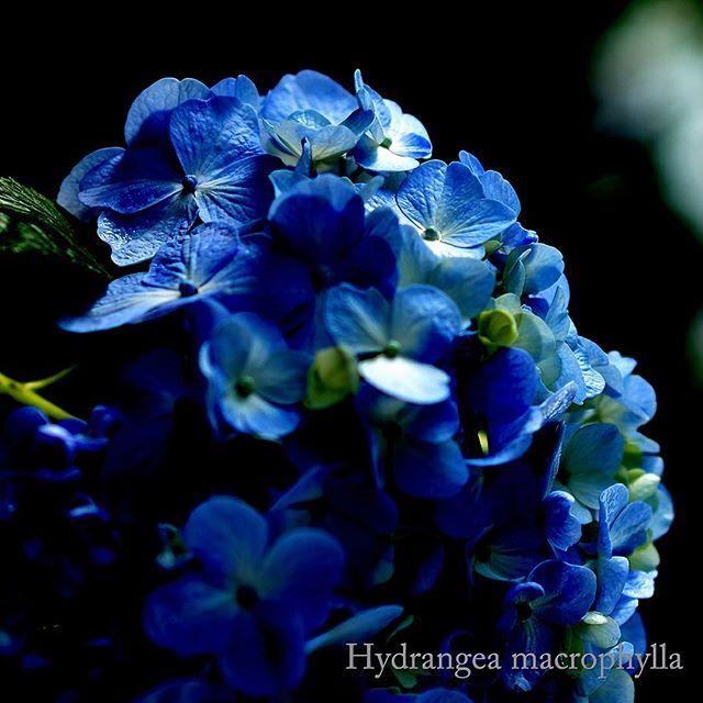 #garden に咲いた#アジサイ がとても美しく心が和みます#花 が優しく微笑んでくれているような#hydrangea #庭#写真#東京カメラ部#写真好きな人と繋がりたい #あじさい #写真撮ってる人と繋がりたい#flower#flowerslovers