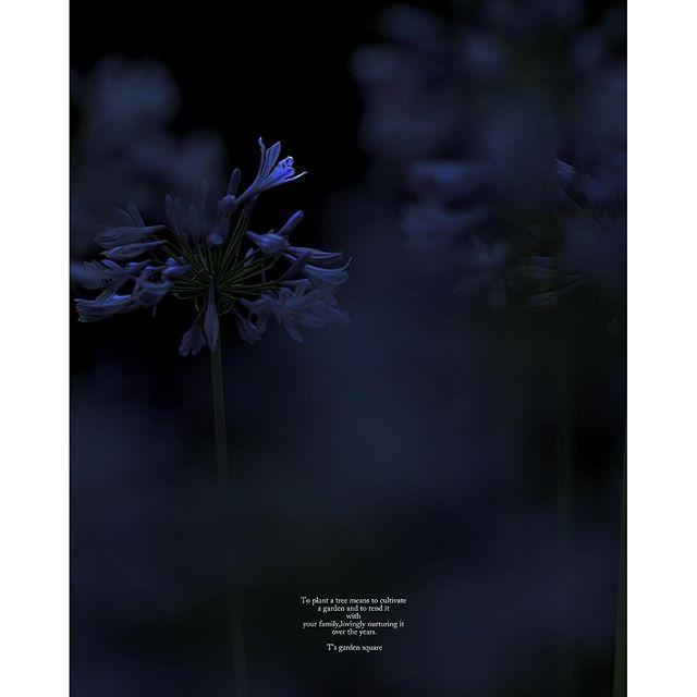 #アガパンサス #agapanthus #写真#写真好きな人と繋がりたい #花 #東京カメラ部#NIKON