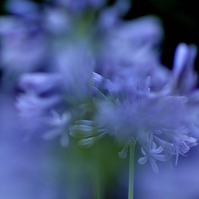 #庭 #アガパンサス#写真好きな人と繋がりたい #出会い #花 #東京カメラ部 #chelsea #NIKON#ニコン#ニコン倶楽部