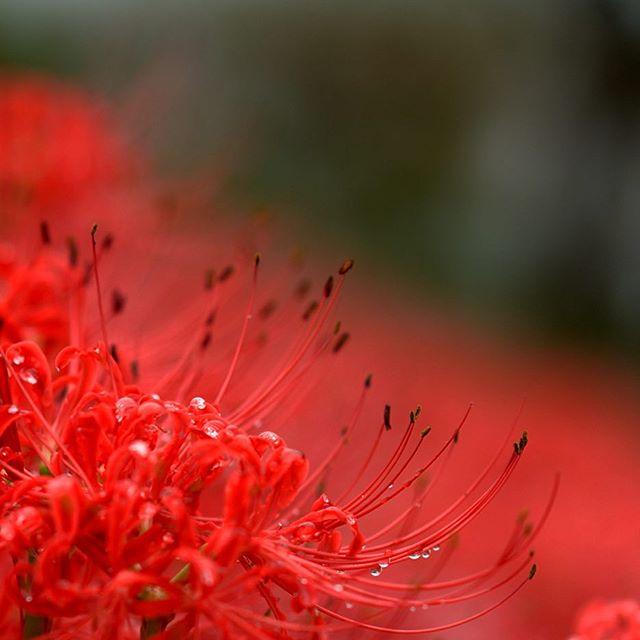 #彼岸花 #花 #写真好きな人と繋がりたい