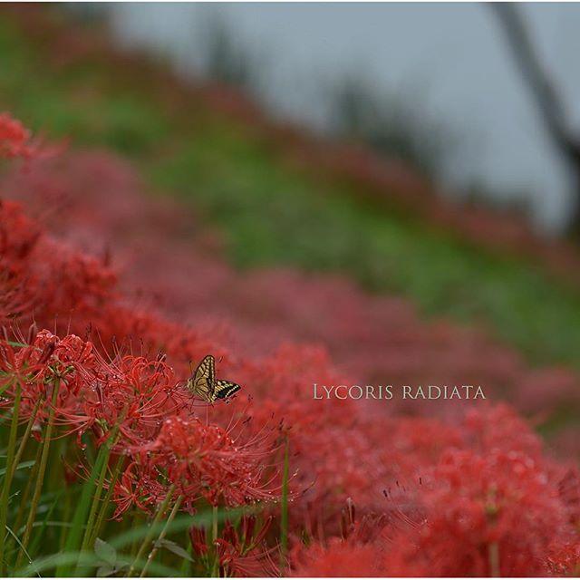 #彼岸花 #写真好きな人と繋がりたい #カメラ #花