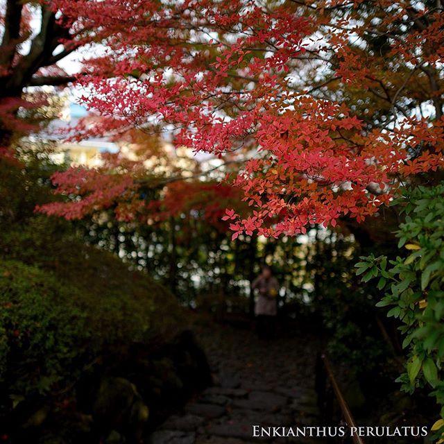 #満天星#どうだん邸 #紅葉 #紅葉 #写真好きな人と繋がりたい