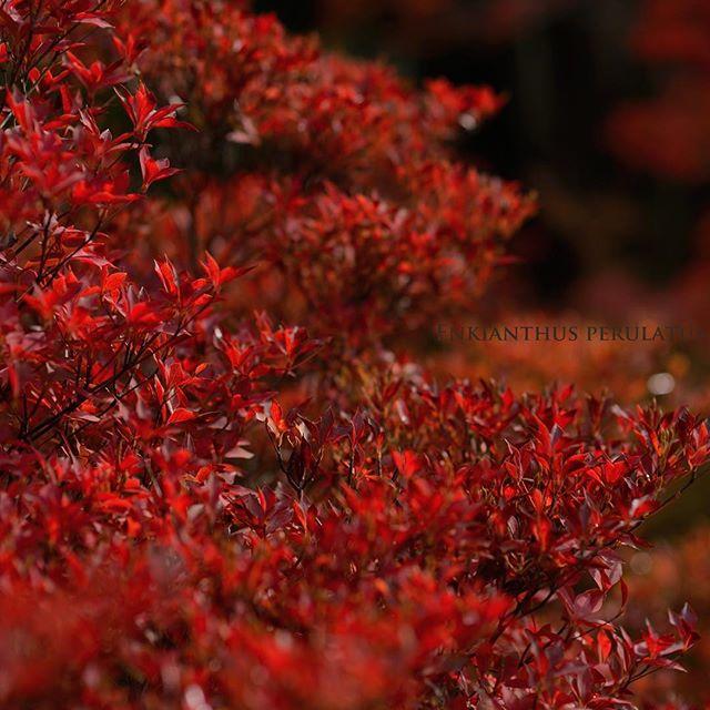 真っ赤に色づいたドウダンツツジ秋の紅葉は#モミジだけじゃない#どうだん亭 #写真好きな人と繋がりたい #赤 #植物