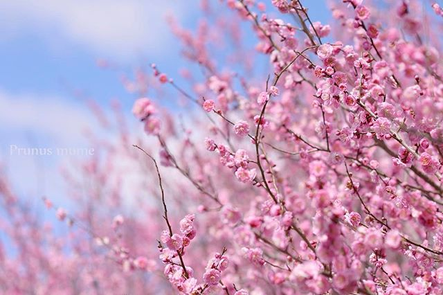 #写真好きな人と繋がりたい #この同じ空のもと僕らはigでつながっている #ザ花部 #ニコン #東京カメラ部 #植物図鑑 #植物が好き #植物好き #植物が好きな人と繋がりたい #tokyocameraclub #photo #photographer #phos_japan #ume #nikon #nikon_photography
