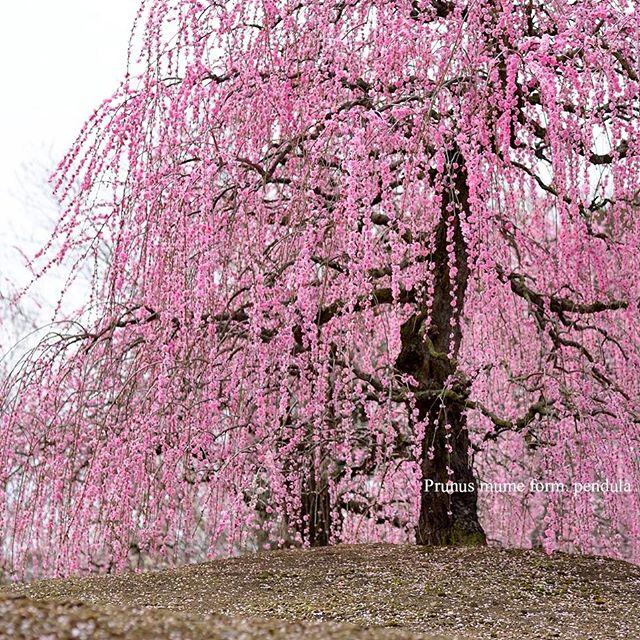 #植物が好き #植物図鑑 #植物が好きな人と繋がりたい #植物が好き #写真好きな人と繋がりたい #写真撮ってる人と繋がりたい #ザ花部 #鈴鹿の森庭園 #tokyocameraclub #photographer #phos_japan #ume #東京カメラ部#nikon #nikon_photography