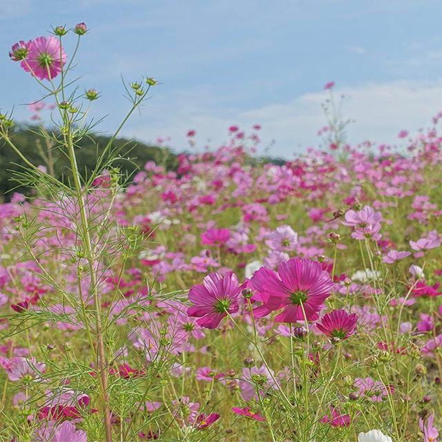 季節外れのコスモス#沖縄 では満開でした。#ザ花部 #はなまっぷ #植物が好き #植物 #写真撮ってる人と繋がりたい