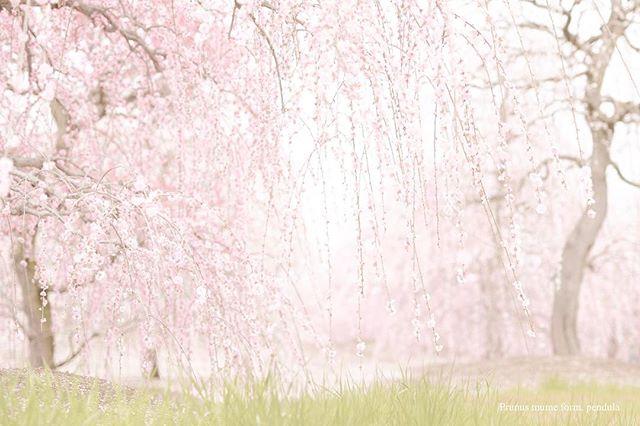 色を変えてみた。梅が#桜 に見えるなぁ。#はなまっぷ #東京カメラ部 #写真好きな人と繋がりたい #写真撮ってる人と繋がりたい #写真が好きな人と繋がりたい #nikon #phos_japan
