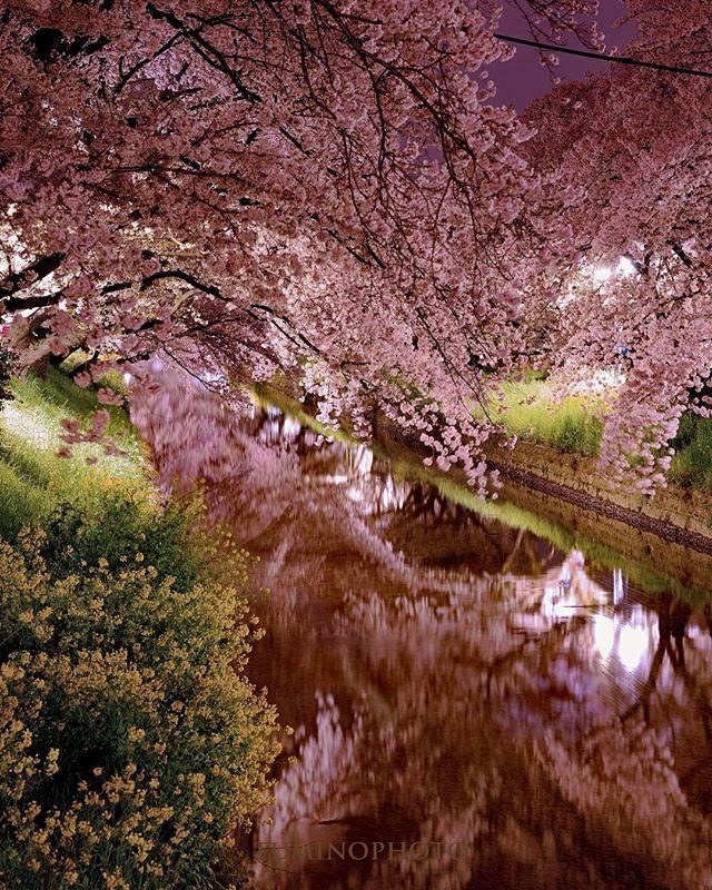 #photography #photographer #phos_japan #nikon #wp_桜2017 #wp_japan #東京カメラ部 #tokyocameraclub #ザ花部 #写真好きな人と繋がりたい #写真撮ってる人と繋がりたい #写真を撮るのが好きな人と繋がりたい #はなまっぷ #植物 #植物が好き #植物のある暮らし #フォトブートキャンプ#nikon