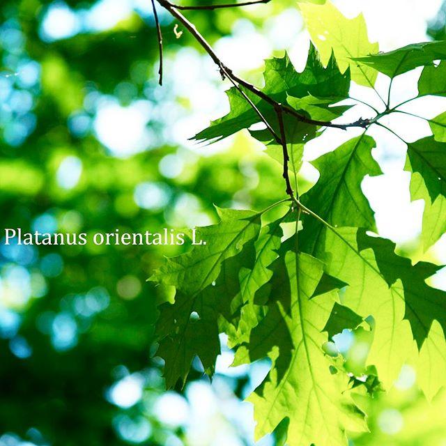 #植物が好きな人と繋がりたい #植物図鑑 #植物が好き #写真好きな人と繋がりたい #写真撮ってる人と繋がりたい #写真を撮るのが好きな人と繋がりたい #はなまっぷ #tokyocameraclub #東京カメラ部 #フォトブートキャンプ04 #フォトブートキャンプ