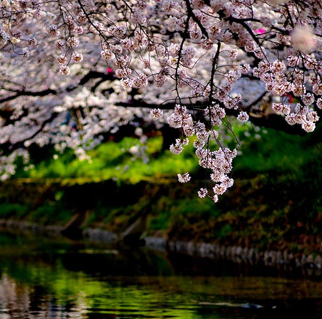 #tokyocameraclub #植物が好きな人と繋がりたい #はなまっぷ #wp_桜2017 #wp_japan #植物が好き #ザ花部 #東京カメラ部 #写真 #写真好きな人と繋がりたい #写真撮ってる人と繋がりたい #写真を撮るのが好きな人と繋がりたい #フォトブートキャンプ