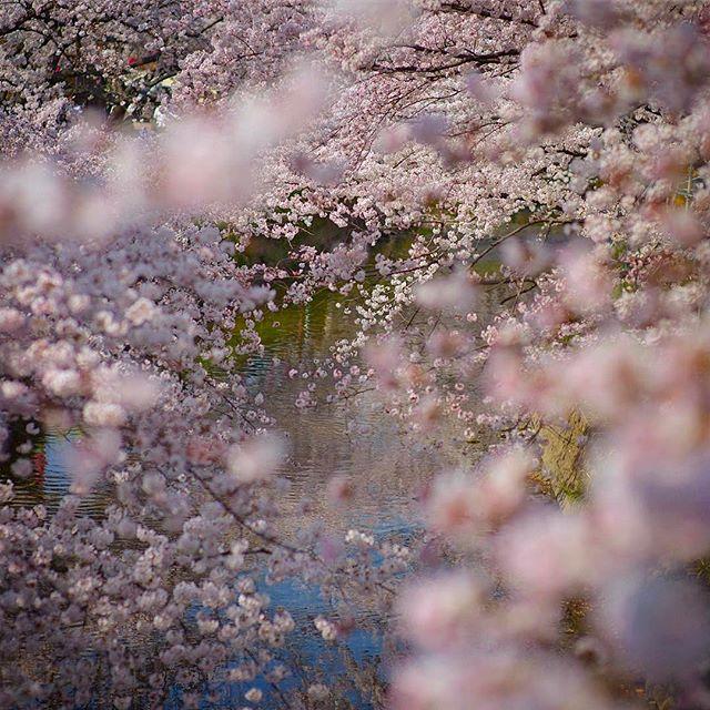 #東京カメラ部 #nikon #wp_japan #写真好きな人と繋がりたい #wp_桜2017 #phos_japan #photography #はなまっぷ #フォトブートキャンプ #ザ花部 #photographer #植物が好き