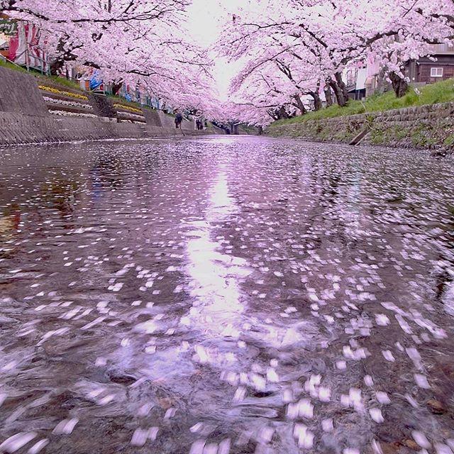 #フォトブートキャンプ #ザ花部 #はなまっぷ #植物が好き #phos_japan #wp_japan #wp_桜2017 #写真好きな人と繋がりたい #写真撮ってる人と繋がりたい #写真が好きな人と繋がりたい #nikon