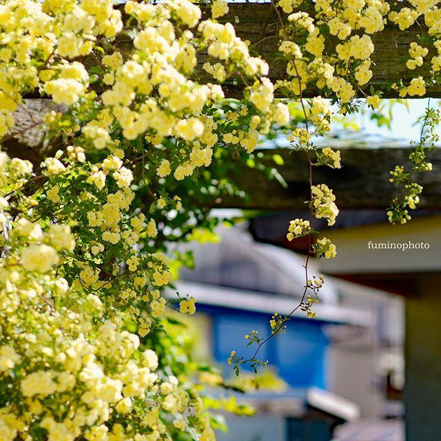 うちの庭シリーズです。今年もたくさんの花をつけてくれました嬉しい#instagram #黄色 #モッコウバラ #バラ #庭 #にわ #はなまっぷ #花 #フォトブートキャンプ #instagrammer #phos_japan #tokyocameraclub #photographer #photography #nikon