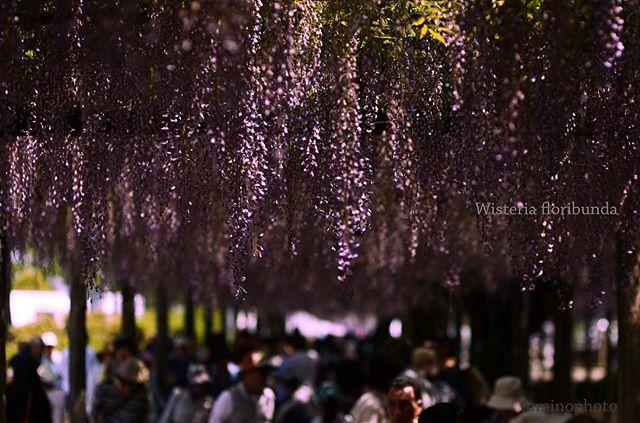 今年の#gw は天気が良く 沢山の思い出が作れそうですね。ありがとう #東京カメラ部 #tokyocameraclub #写真好きな人と繋がりたい #写真撮ってる人と繋がりたい  #phos_japan #instagram #instagrammer #photography #japan #japanese #wp_japan #photographer #nikon #藤 #植物 #植物図鑑 #植物が好き #はなまっぷ #ザ花部 #フォトブートキャンプ#special_spot_