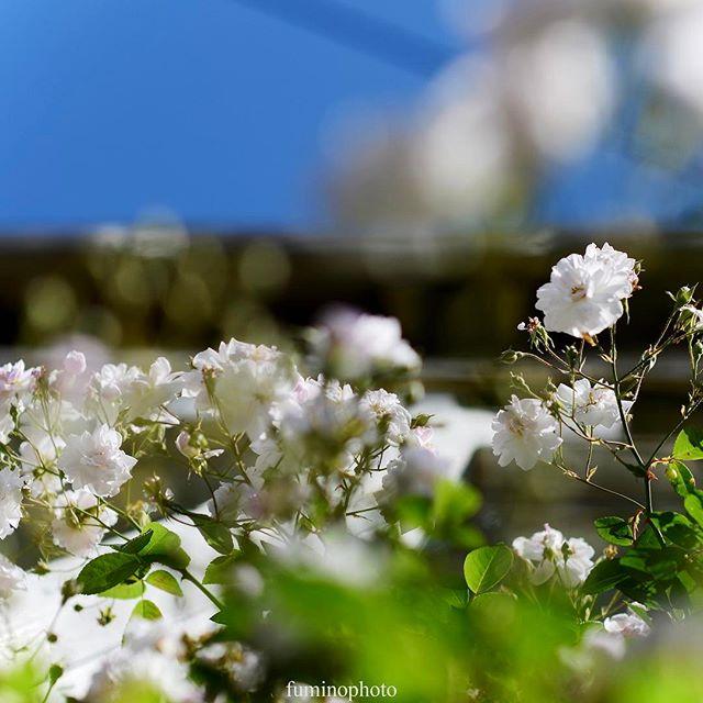 #庭 の#つるバラ #ポールズヒマラヤンムスクが咲き始めました#外構 #ザ花部 #はなまっぷ #植物 #植物が好き #写真好きな人と繋がりたい #写真撮ってる人と繋がりたい #写真を撮るのが好きな人と繋がりたい #nikon #phos_japan #photoday#rose #ばら #バラ