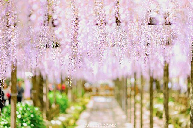 春は沢山の花が咲き心が踊りますじっと冬の間我慢していた気持ちが実りますね。#植物が好き #フォトブートキャンプ #植物 #植物のある暮らし #写真撮るのが好き #写真好きな人と繋がりたい #写真撮ってる人と繋がりたい #キタムラ写真投稿 #藤 #photo #phos_japan #photography #photographer #nikon #tokyocameraclub #東京カメラ部#special_flower_collections #special_spot_