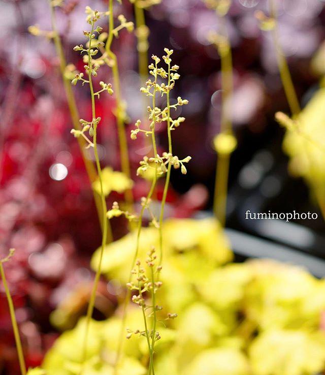 うちの#庭 では様々な植物が花ひらいています。毎日の変化が楽しくてウキウキしていますよヒューケラはこんなに可憐な花をつけてくれるのご存知でしたか?#photography #植物 #植物が好き #写真好きな人と繋がりたい #写真撮ってる人と繋がりたい #写真が好きな人と繋がりたい #植物のある暮らし #はなまっぷ #フォトブートキャンプ #phos_japan #photographer #ヒューケラ #黄色 #instagram#nikon #tokyocameraclub#花