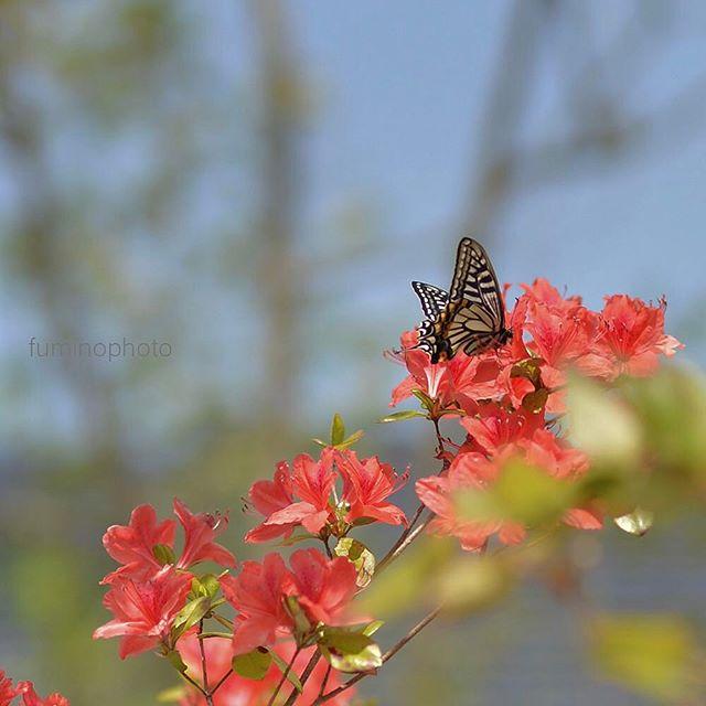 お客様のおうちで撮影中アゲハチョウがおいでになりましたツツジと素敵なコラボレーションにうっとり#キタムラ写真投稿 #はなまっぷ #ザ花部 #photo #phos_japan #photography #photographer #instagram #instagrammer #butterfly #写真好きな人と繋がりたい #写真撮ってる人と繋がりたい #花 #植物が好き #庭 #garden #gardening #フォトブートキャンプ #フォトコミュ #東京カメラ部 #tokyocameraclub