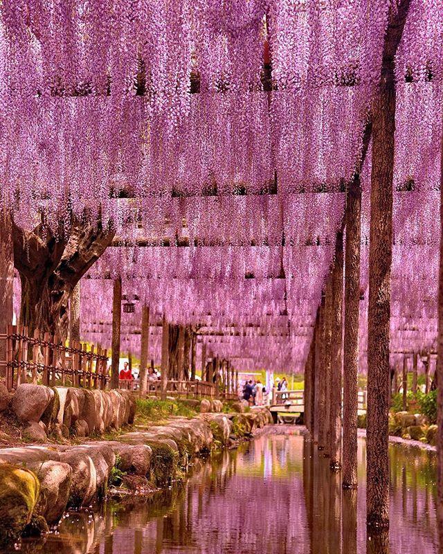 紫のカーテンがどこまでも続く美しい彩りが心和ませますありがとう#tokyocameraclub #東京カメラ部 #植物 #植物が好き #ザ花部 #はなまっぷ #special_spot_ #super_asia_channel #instagram #inspiring_shot #love_flowers #love_garden #写真撮るのが好き #写真好きな人と繋がりたい #写真撮ってる人と繋がりたい #藤 #nikon #sigma #フォトブートキャンプ #フォトコミュ #photo #photographer #phos_japan #photography #photografy #special_day #special_flower_collections#rainbow_petals