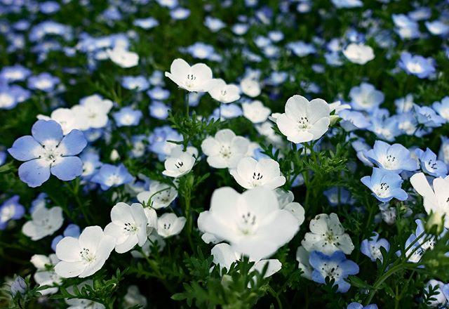 ️ #wp_japan#inspiring_shot#special_flower_collections#flower_special_#wp_flower#tv_flowers#植物 #植物が好き #植物のある暮らし #nikon #写真好きな人と繋がりたい #写真撮ってる人と繋がりたい #はなまっぷ#IG_JAPAN#ef_bluedays#nature_special_#instagramjapan#instagram#ig_garden#garden#花 #花好き #はな#花フェスタ記念公園