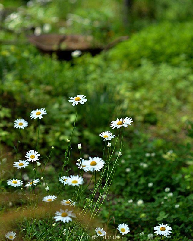 #wp_japan#inspiring_shot#special_flower_collections#flower_special_#wp_flower#tv_flowers#植物 #植物が好き #植物のある暮らし #nikon #写真好きな人と繋がりたい #写真撮ってる人と繋がりたい #はなまっぷ#IG_JAPAN#ef_bluedays#nature_special_#instagramjapan#instagram#ig_garden#garden#花 #花好き #はな#ターシャの庭