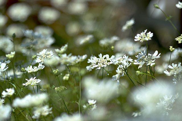 #wp_japan#inspiring_shot#special_flower_collections#flower_special_#wp_flower#tv_flowers#植物 #植物が好き #植物のある暮らし #nikon #写真好きな人と繋がりたい #写真撮ってる人と繋がりたい #はなまっぷ#IG_JAPAN#ef_bluedays#nature_special_#instagramjapan#instagram#ig_garden#garden#花 #花好き #はな#rainbow_petals