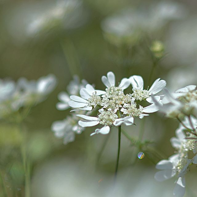 Orlaya grandiflora #植物 #植物が好き #植物のある暮らし #nikon #写真好きな人と繋がりたい #写真撮ってる人と繋がりたい #はなまっぷ#IG_JAPAN#ef_bluedays#nature_special_ #instagramjapan #instagram#ig_garden#garden#花 #花好き #はな#rainbow_petals