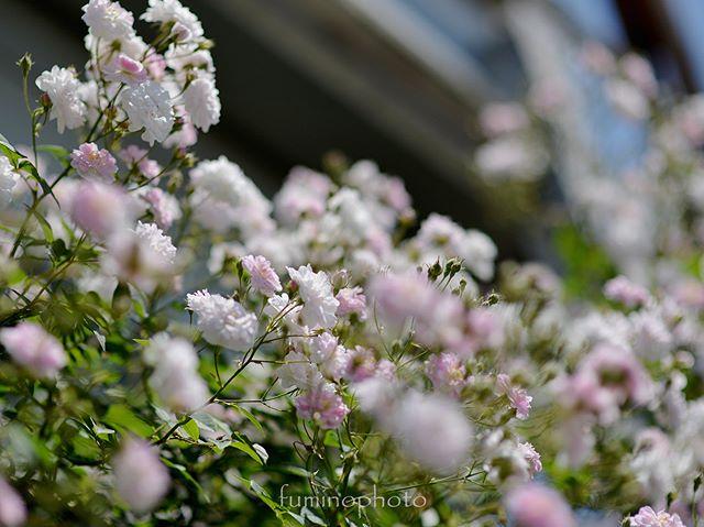 調子が悪く3回植え替えたポールズヒマラヤンムスク。今年はいっぱい咲いてくれています♡#inspiring_shot#special_flower_collections#flower_special_#wp_flower#tv_flowers#植物 #植物が好き #植物のある暮らし #nikon #写真好きな人と繋がりたい #写真撮ってる人と繋がりたい #はなまっぷ#IG_JAPAN#ef_bluedays#nature_special_#instagramjapan#instagram#ig_garden#garden#花 #花好き #はな#rainbow_petals#bara#バラ#rose