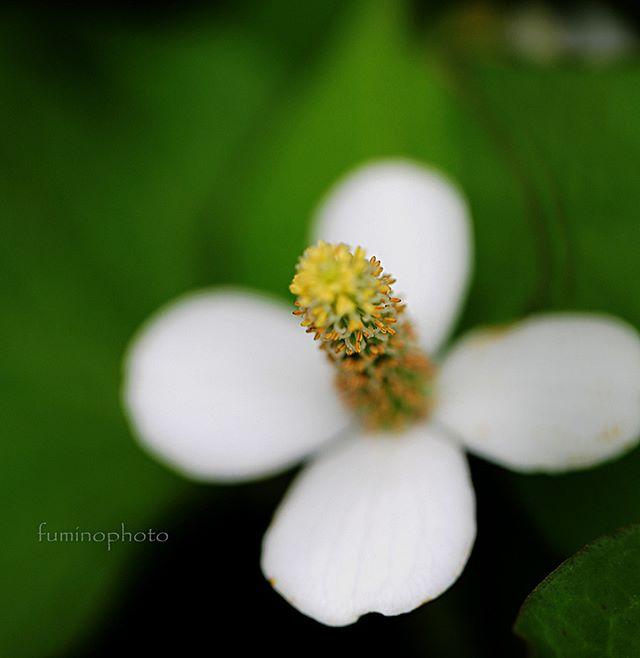 ドクダミ。・その独特の香りと繁殖力で雑草の中でもひと際嫌われがちな子。でももう一度 よ~く見てあげて下さい。けなげで可憐な小さな花が集まって咲いています^^ひとつの大きな花のように見える四枚はソウホウヘンと言われるつぼみを包んでいた葉なんですよ。別名を十薬といってその昔から民間療法では万能薬として重宝されていました。増えすぎる性格の持ち主は 雑草 という言葉でよく処理されがちですが、もう一度その生命力のすごさを 力強さを感じてみて下さい。植物達は生きる力を与えてくれますね^^ありがとう。・#wp_japan#inspiring_shot#special_flower_collections#flower_special_#wp_flower#tv_flowers#植物 #植物が好き #植物のある暮らし #nikon #写真好きな人と繋がりたい #写真撮ってる人と繋がりたい #はなまっぷ#IG_JAPAN#ef_bluedays#nature_special_#instagramjapan#instagram#ig_garden#garden#花 #花好き #はな#rainbow_petals#東京カメラ部#ip_blossoms#tokyocameraclub