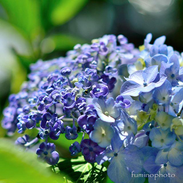 二種類の紫陽花が同時に咲く摩訶不思議な、うちのおたふく紫陽花。毎年、心が踊ります(^^) #wp_japan#inspiring_shot#special_flower_collections#flower_special_#wp_flower#tv_flowers#植物 #植物が好き #植物のある暮らし #nikon #写真好きな人と繋がりたい #写真撮ってる人と繋がりたい #はなまっぷ#IG_JAPAN#ef_bluedays#nature_special_#instagramjapan#instagram#フォトコミュ#フォトブートキャンプ#ig_garden#garden#花 #花好き #はな#rainbow_petals#あじさい#紫陽花#東京カメラ部#ip_blossoms