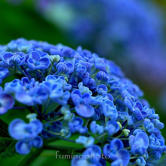 庭のオタフクアジサイプクプク^^ ありがとぅ#wp_japan#inspiring_shot#special_flower_collections#flower_special_#wp_flower#tv_flowers#植物 #植物が好き #植物のある暮らし #nikon #写真好きな人と繋がりたい #写真撮ってる人と繋がりたい #はなまっぷ#IG_JAPAN#ef_bluedays#nature_special_#instagramjapan#instagram#ig_garden#garden#花 #花好き #はな#rainbow_petals#フォトブートキャンプ #フォトコミュ