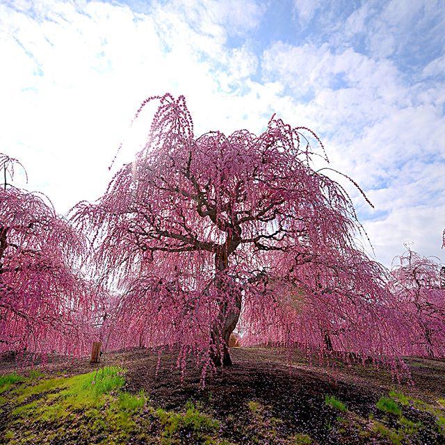 #フォトコミュ#キタムラ写真投稿#instagramjapan #IGersjp #photography#wp_flower #Japan_daytime_view #垂れ梅 #鈴鹿市 #japan #銀座サテライトフォトコン梅#梅#はなまっぷ#三重#s_shot#tokyocameraclub#unknownjapan#visitjapanjp#vj_view_2018#instagram#土曜日の小旅行#lovers_nippon#team_jp_ #igersjp#light_nikon#phototraveler#写真撮ってる人と繋がりたい#植物が好き#team_jp_flower#東京カメラ部
