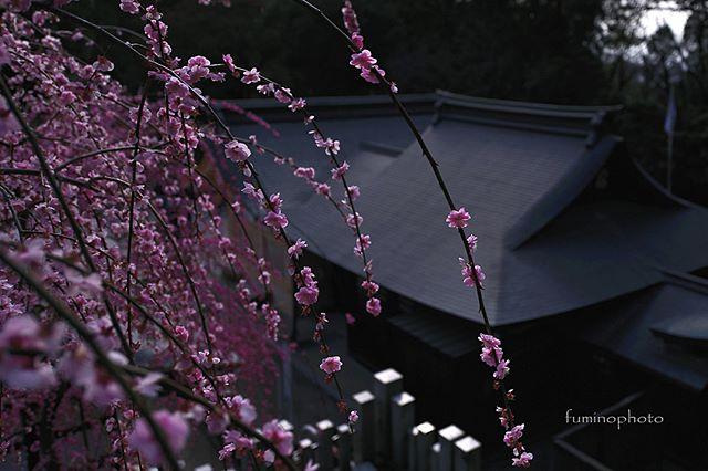 少しタイミングを逃しましたが大縣神社梅まつり。この梅が大きく成長したらすばらしい景色になるのでしょうね。素敵な香りに包まれていました^^ 来年もまたいこう!#植物が好き#私の花の写真館#銀座サテライトフォトコン梅#梅#はなまっぷ#s_shot#tokyocameraclub#unknownjapan#visitjapanjp#vj_view_2018#instagram#土曜日の小旅行#lovers_nippon#team_jp_ #igersjp#light_nikon#phototraveler#写真撮ってる人と繋がりたい#植物が好き#team_jp_flower#東京カメラ#フォトコミュ#キタムラ写真投稿#instagramjapan #IGersjp #photography#wp_flower #Japan_daytime_view #垂れ梅