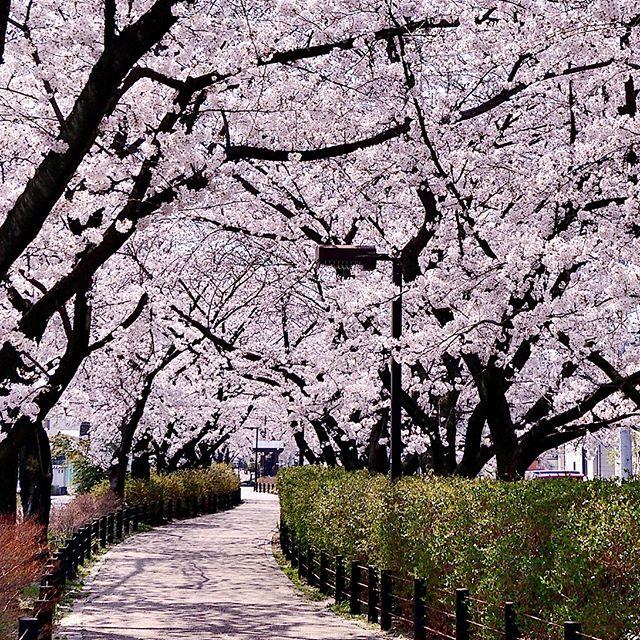 桜は春日井市の市章にもなっています。街のあちらこちらに桜並木があって 見どころが満載です。どこまでも続くさくらロード。10年以上住んでいて初めて撮影できました^^ いつもは 綺麗やなぁ で 通り過ぎていた。改めて撮影すると水道道(尾張広域緑道)美しく綺麗ですね。柏井町から八田町まで美しい桜色のベールが続きます。#フォトコミュ#art_of_japan_#phos_japan#wp_japan#photo_jpn#visitjapanjp#bestphoto_japan#whim_life #photo_travelers#japan_daytime_view#ig_global_life#japan_art_photography#igbsfeatures #worldbestshot#japan_photo_now#igphotoworld#thebest_capture#igglobalclub#worldbestglam#colors_of_day#igs_world#igs_asia#love_united_asia#igworldglobal#Rox_Captures#IG_JAPAN_BW#team_jp_春色2018#wp_桜2018 #はなまっぷ桜2018