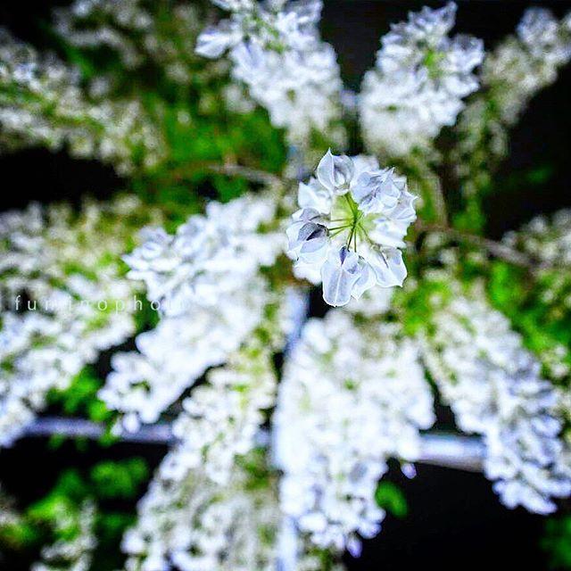 白藤ギリギリアウトでした。それでも美しい姿を頑張って残してくれていて ありがとうまた来年・・・。イヤ北に向かおうか #藤 #ig_garden #ts_niwa #ig_japan #フォトコミュ #フォトブートキャンプ#写真好きな人と繋がりたい #写真撮ってる人と繋がりたい