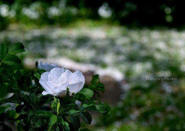 白の世界。様々なしろばなが素敵な空間を彩っていました。心休まる素敵な空間を ありがとうございます^^バラの写真を撮っていてニコニコしているのって気持ち悪いですか?(笑)#ベルファーム #matsusakanogyokoen_bellfarm #松阪農業公園ベルファーム  #バラ色写真フォトコンテスト#wp_japan#inspiring_shot#special_flower_collections#flower_special_#wp_flower#tv_flowers#植物 #植物が好き#植物のある暮らし#写真好きな人と繋がりたい#写真撮ってる人と繋がりたい#はなまっぷ#IG_JAPAN#ef_bluedays#nature_special_#instagramjapan#フォトブートキャンプ#ig_garden#garden#花 #花好き #はな#rainbow_petals#東京カメラ部#ig_japan#キタムラ写真投稿