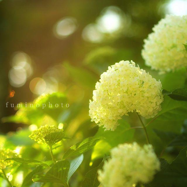今日は暑かったですね。夕方、何気なく庭に出て観るとハートのアナベル見つけました^^きっといいことありそうです^^・・・・#team_jp_flower#lovers_nippon#写真好きな人と繋がりたい#写真撮ってる人と繋がりたい#植物が好き#はなまっぷ#私の花の写真館#ig_japan#ptk_japan#japan_daytime_view#phos_japan#excellent_nature#fabulous_shots#explore_dof_#photo_shorttrip#tokyocameraclub#daily_photo_jpn#photo_jpn#nature_special_#jaran_asobi#jp_gallery#フォトコミュ#tv_flowers#loves_garden#flower_special_#wp_flower#tv_flowers#アナベル#紫陽花#ts_niwa